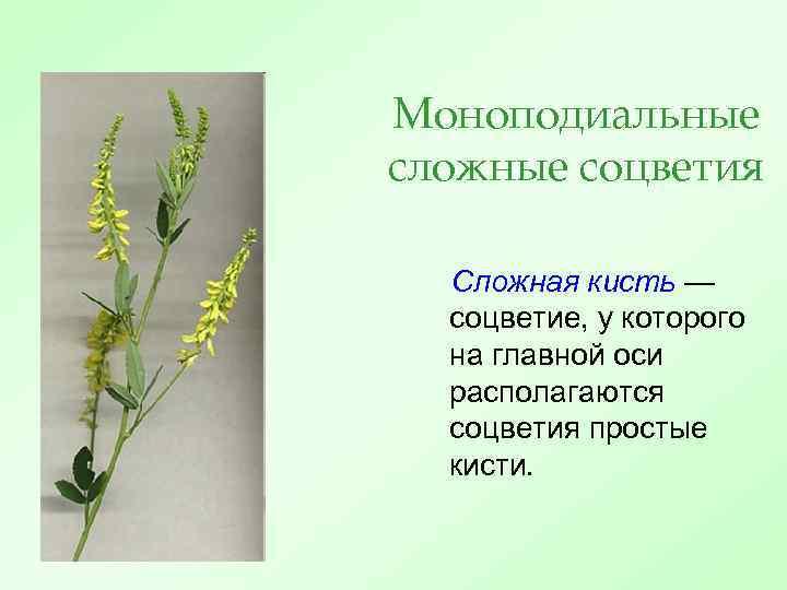 Моноподиальные сложные соцветия Сложная кисть — соцветие, у которого на главной оси располагаются соцветия