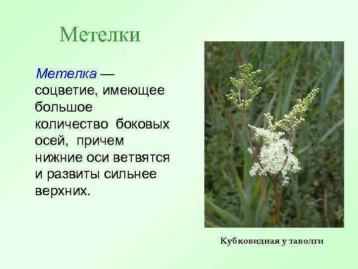 Метелки Метелка — соцветие, имеющее большое количество боковых осей, причем нижние оси ветвятся и