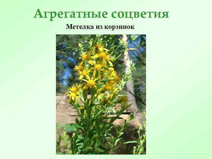 Агрегатные соцветия Метелка из корзинок