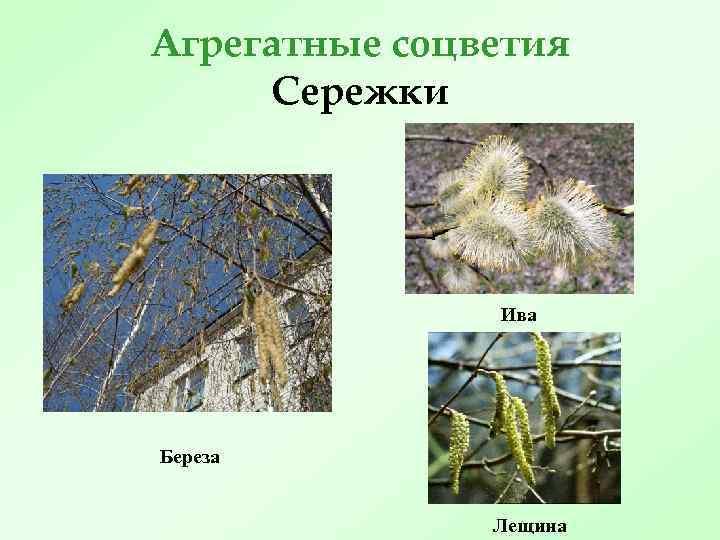Агрегатные соцветия Сережки Ива Береза Лещина