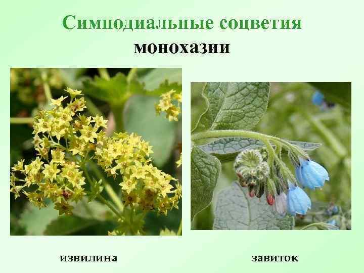 Симподиальные соцветия монохазии извилина завиток