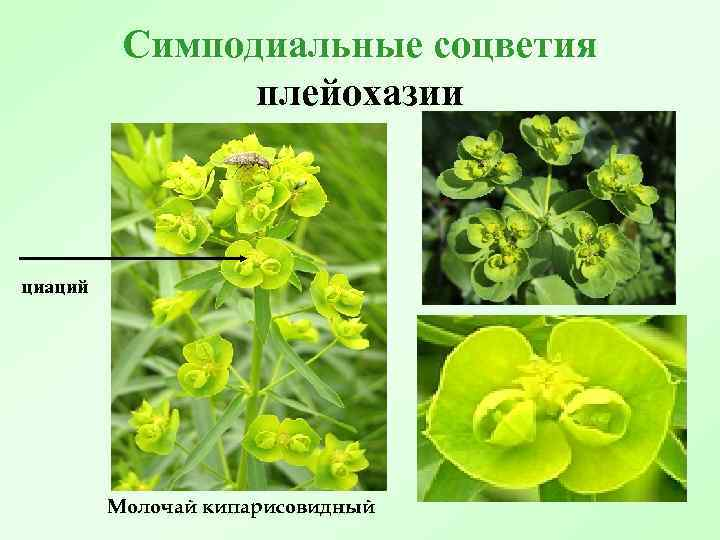 Симподиальные соцветия плейохазии циаций Молочай кипарисовидный