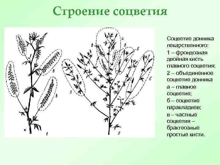 Строение соцветия Соцветие донника лекарственного: 1 – фрондозная двойная кисть главного соцветия; 2 –