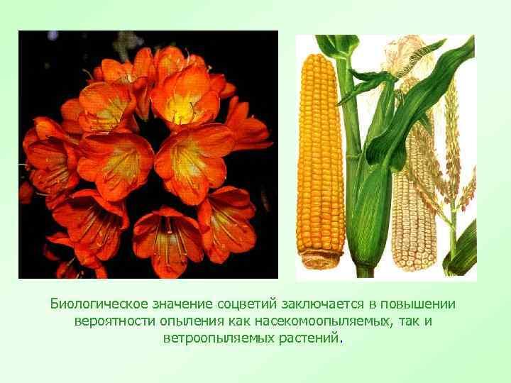 Биологическое значение соцветий заключается в повышении вероятности опыления как насекомоопыляемых, так и ветроопыляемых растений.