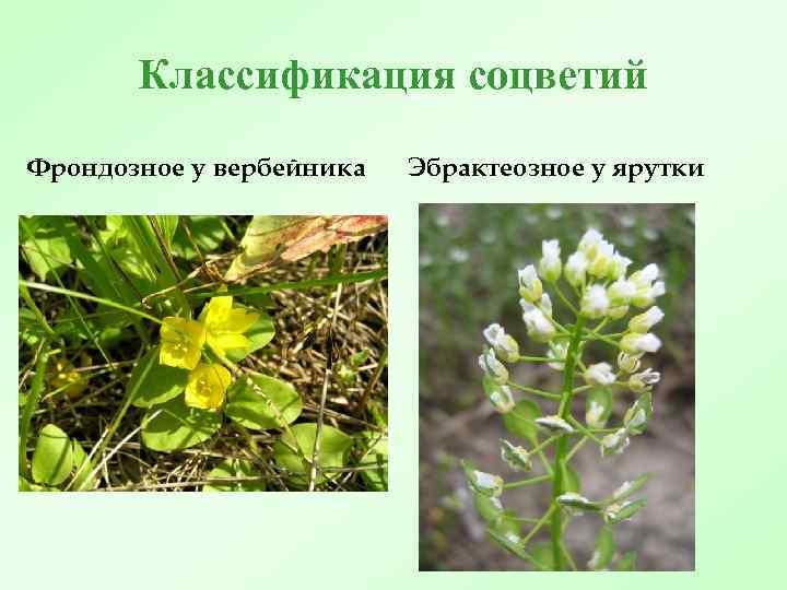 Классификация соцветий Фрондозное у вербейника Эбрактеозное у ярутки