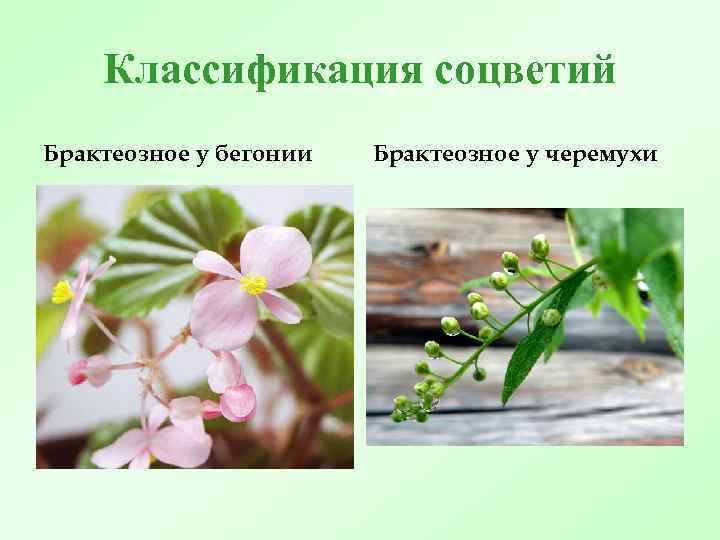 Классификация соцветий Брактеозное у бегонии Брактеозное у черемухи