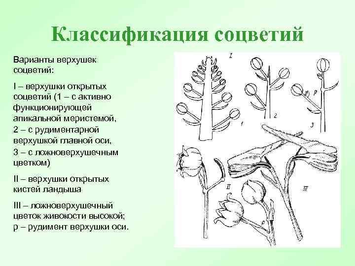 Классификация соцветий Варианты верхушек соцветий: I – верхушки открытых соцветий (1 – с активно