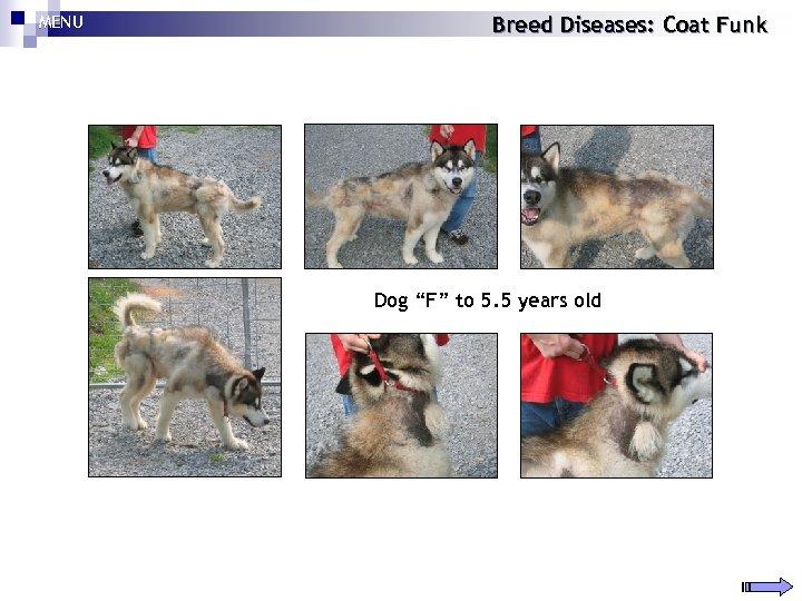 "MENU Breed Diseases: Coat Funk Dog ""F"" to 5. 5 years old"