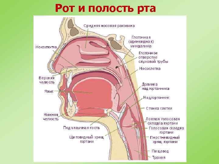 Рот и полость рта