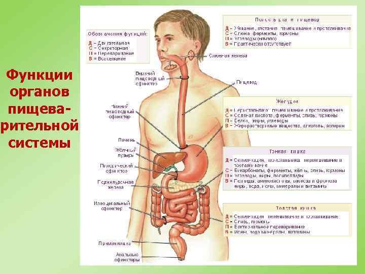 Функции органов пищеварительной системы