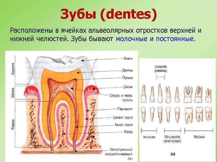 Зубы (dentes) Расположены в ячейках альвеолярных отростков верхней и нижней челюстей. Зубы бывают молочные