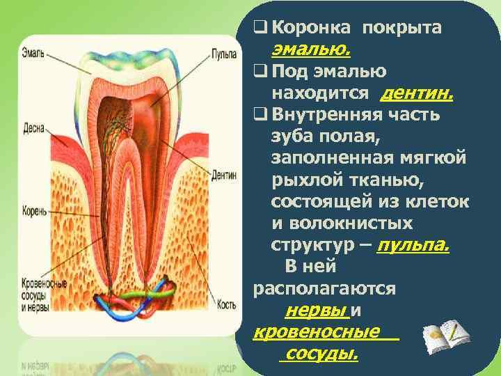 q Коронка покрыта эмалью. q Под эмалью находится дентин. q Внутренняя часть зуба полая,