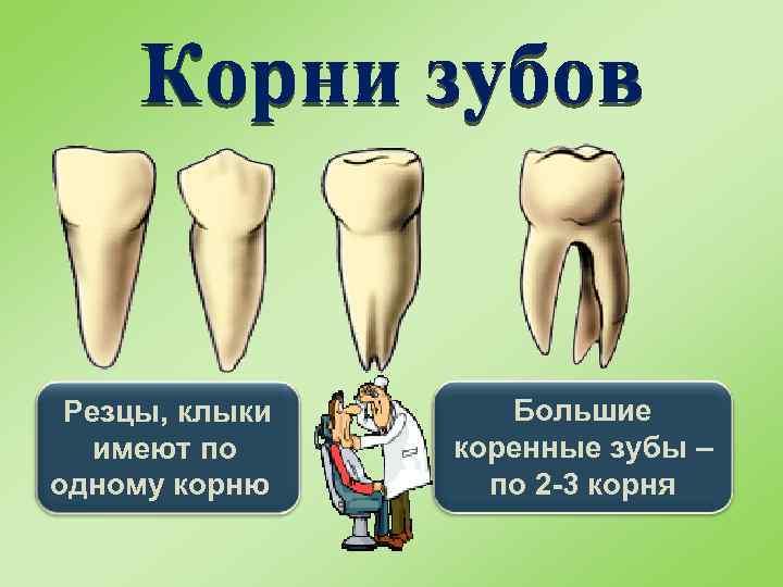 Резцы, клыки имеют по одному корню Большие коренные зубы – по 2 -3 корня