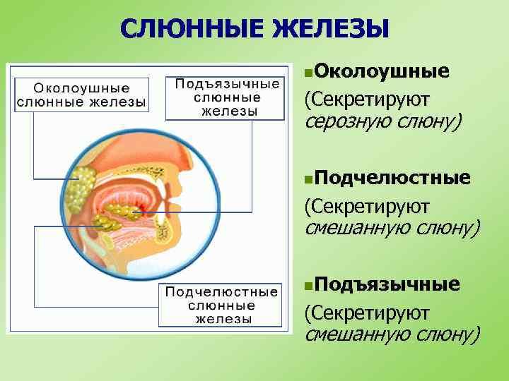 СЛЮННЫЕ ЖЕЛЕЗЫ n. Околоушные (Секретируют серозную слюну) n. Подчелюстные (Секретируют смешанную слюну) n. Подъязычные