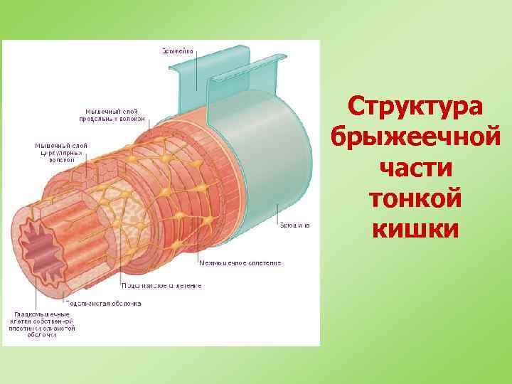 Структура брыжеечной части тонкой кишки