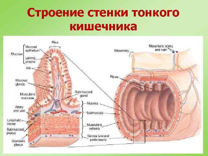 Строение стенки тонкого кишечника