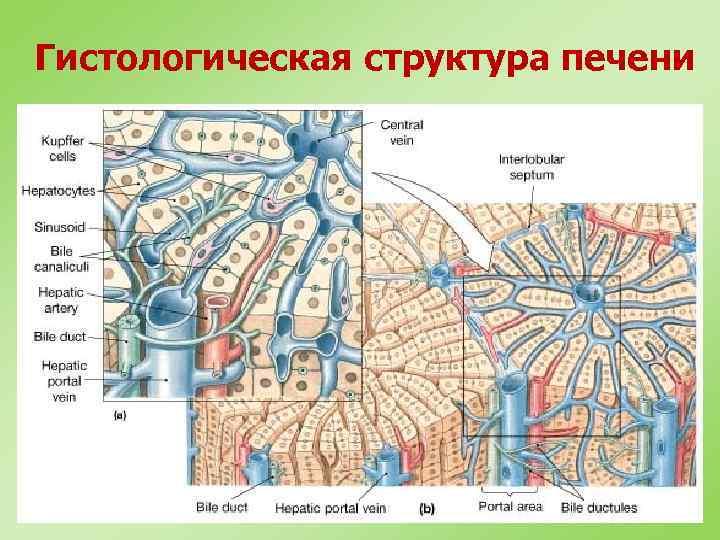 Гистологическая структура печени