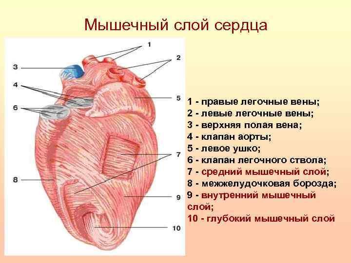 Мышечный слой сердца 1 - правые легочные вены; 2 - левые легочные вены; 3