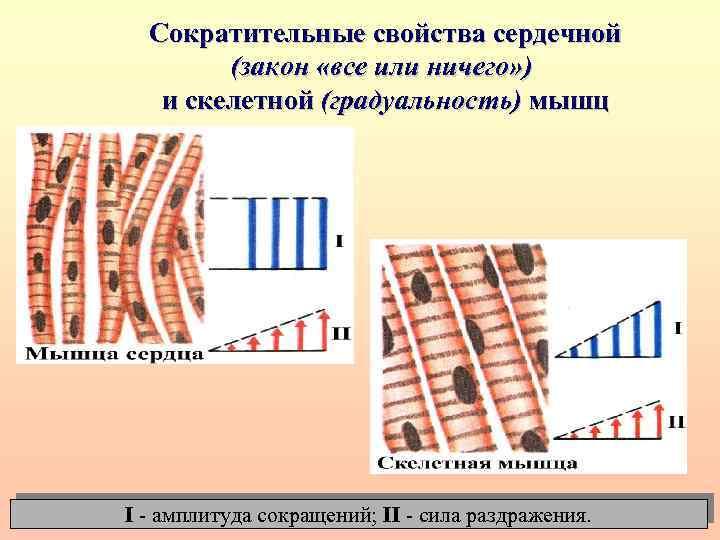 Сократительные свойства сердечной (закон «все или ничего» ) и скелетной (градуальность) мышц I -
