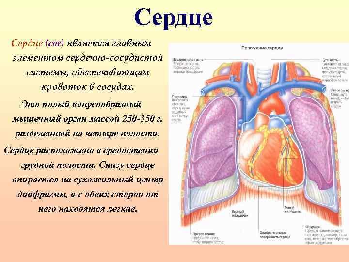 Сердце (cor) является главным элементом сердечно-сосудистой системы, обеспечивающим кровоток в сосудах. Это полый конусообразный