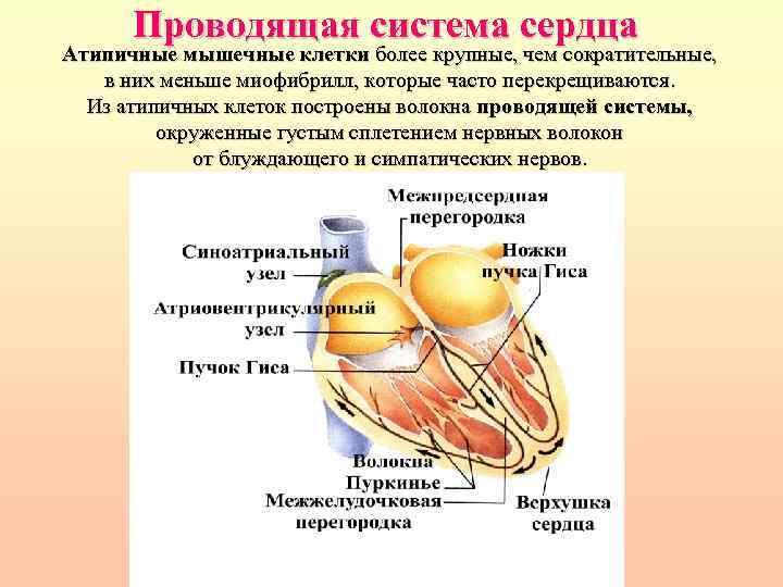 Проводящая система сердца Атипичные мышечные клетки более крупные, чем сократительные, в них меньше миофибрилл,