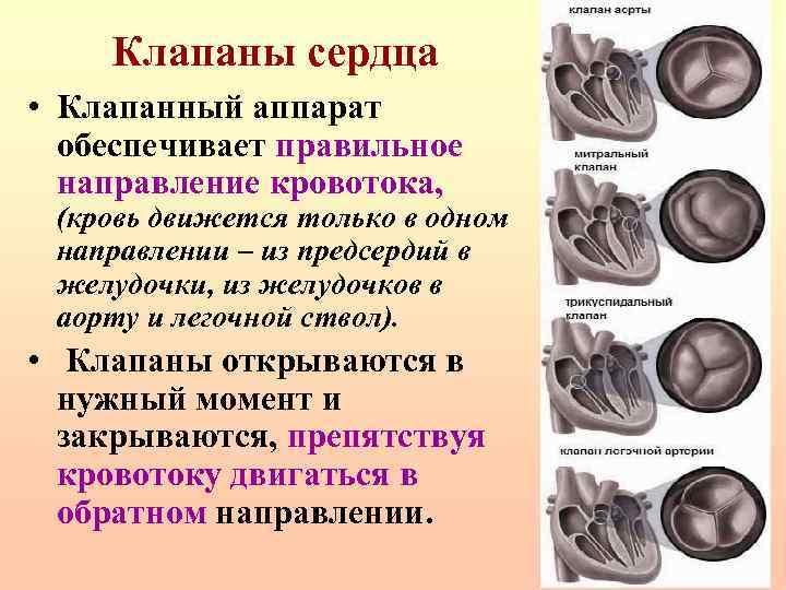Клапаны сердца • Клапанный аппарат обеспечивает правильное направление кровотока, (кровь движется только в одном