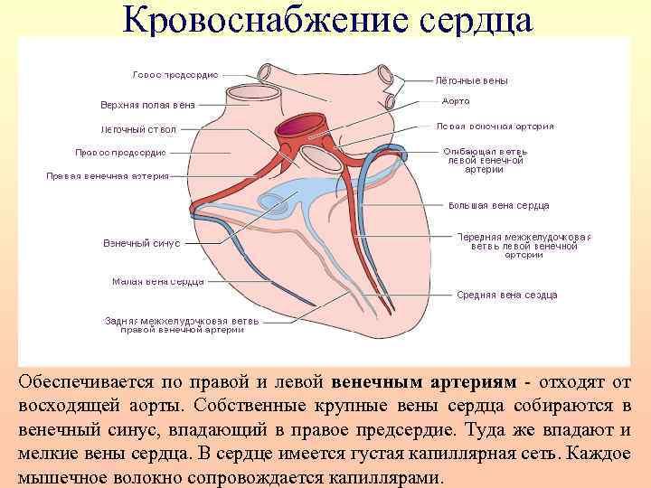 Кровоснабжение сердца Обеспечивается по правой и левой венечным артериям - отходят от восходящей аорты.