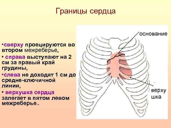 Границы сердца основание • сверху проецируются во втором межреберье, • справа выступают на 2