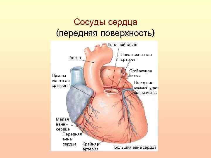 Сосуды сердца (передняя поверхность) Легочной ствол Аорта Правая венечная артерия Малая вена сердца Передняя