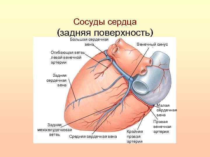 Сосуды сердца (задняя поверхность) Большая сердечная вена Венечный синус Огибающая ветвь левой венечной артерии