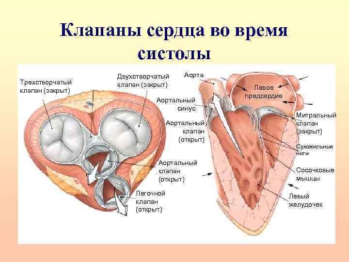 Клапаны сердца во время систолы Трехстворчатый клапан (закрыт) Двухстворчатый клапан (закрыт) Аортальный синус Аортальный