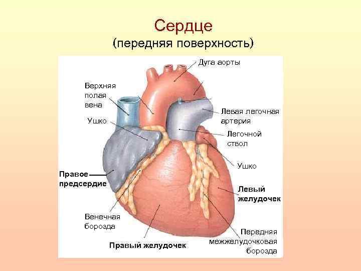 Сердце (передняя поверхность) Дуга аорты Верхняя полая вена Ушко Левая легочная артерия Легочной ствол