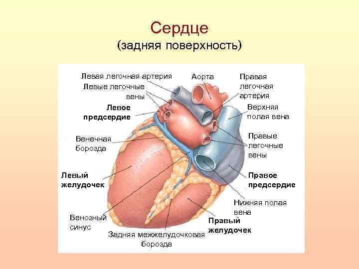 Сердце (задняя поверхность) Левая легочная артерия Левые легочные вены Левое предсердие Аорта Венечная борозда