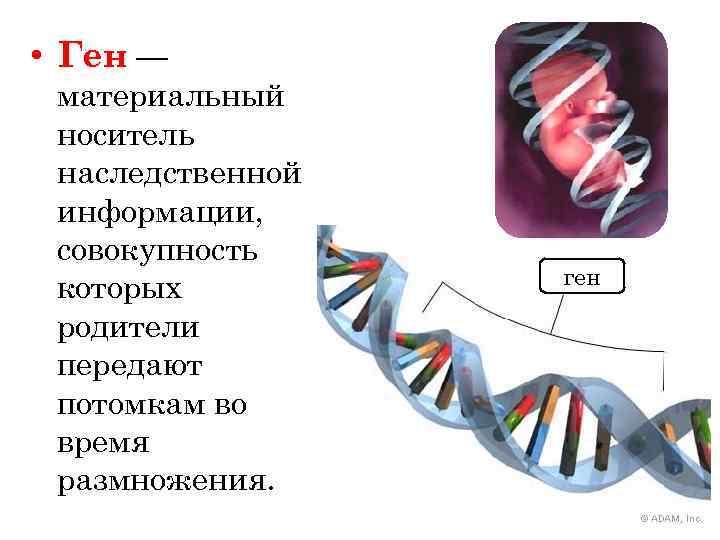 Шпаргалки по генетике вопрос что является носителем наследственной информации