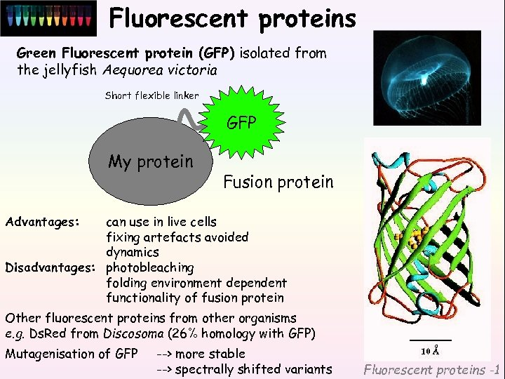 Fluorescent proteins Green Fluorescent protein (GFP) isolated from the jellyfish Aequorea victoria Short flexible