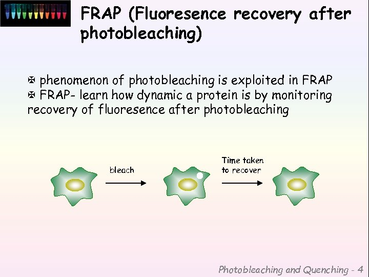 FRAP (Fluoresence recovery after photobleaching) X phenomenon of photobleaching is exploited in FRAP X
