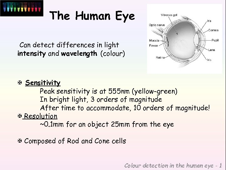 The Human Eye Can detect differences in light intensity and wavelength (colour) X Sensitivity