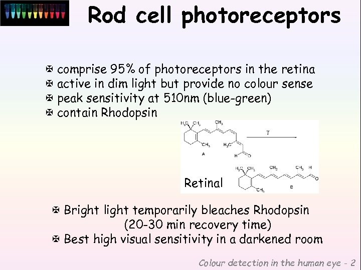 Rod cell photoreceptors X comprise 95% of photoreceptors in the retina X active in