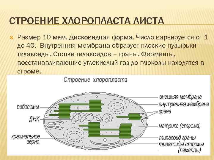 СТРОЕНИЕ ХЛОРОПЛАСТА ЛИСТА Размер 10 мкм. Дисковидная форма. Число варьируется от 1 до 40.