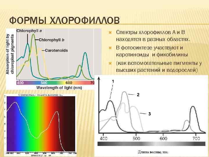 ФОРМЫ ХЛОРОФИЛЛОВ Спектры хлорофиллов А и В находятся в разных областях. В фотосинтезе участвуют