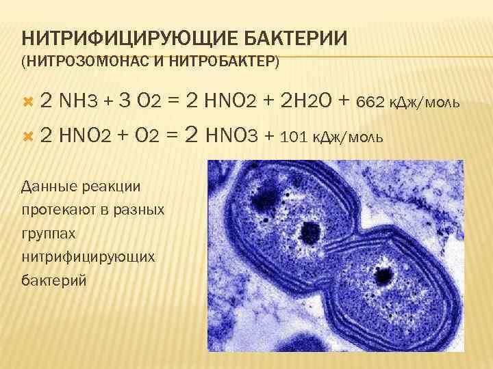 НИТРИФИЦИРУЮЩИЕ БАКТЕРИИ (НИТРОЗОМОНАС И НИТРОБАКТЕР) 2 NH 3 + 3 O 2 = 2