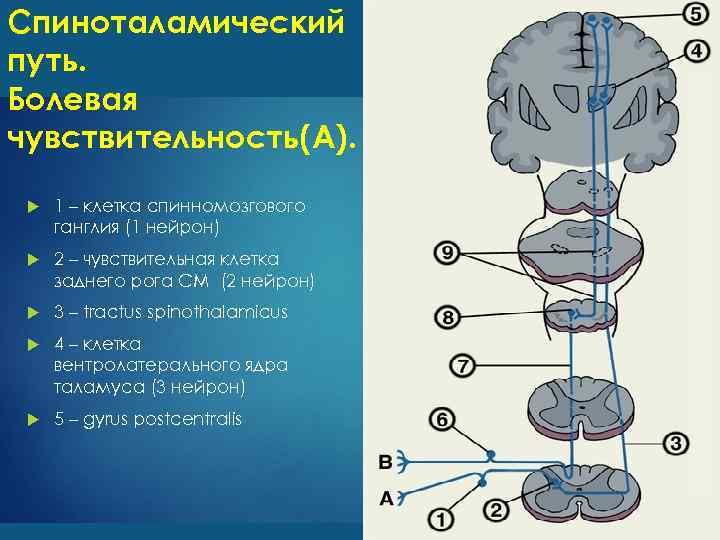 Спиноталамический путь. Болевая чувствительность(А). 1 – клетка спинномозгового ганглия (1 нейрон) 2 – чувствительная