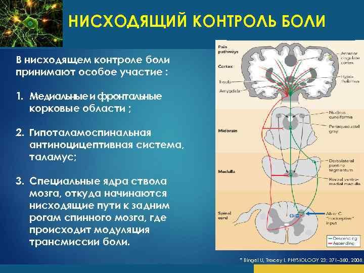 НИСХОДЯЩИЙ КОНТРОЛЬ БОЛИ В нисходящем контроле боли принимают особое участие : * 1. Медиальные