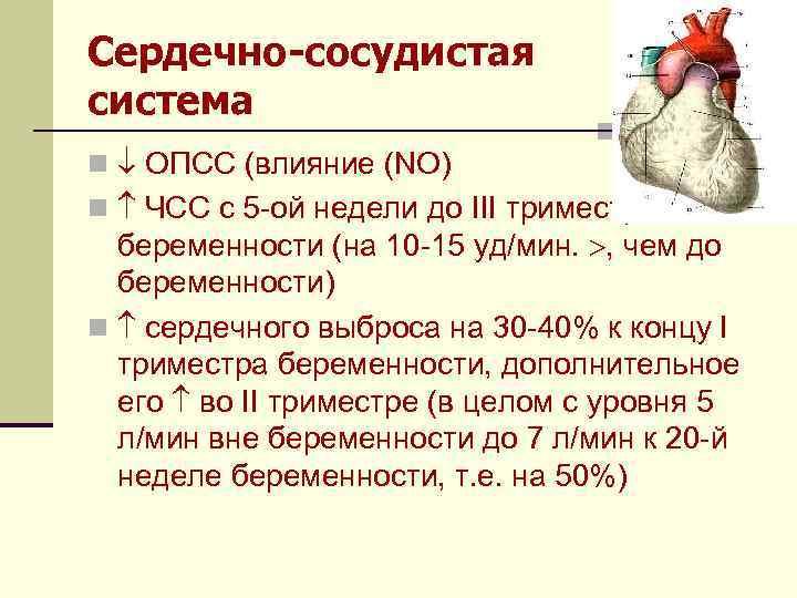 Сердечно-сосудистая система n ОПСС (влияние (NO) n ЧСС с 5 -ой недели до III