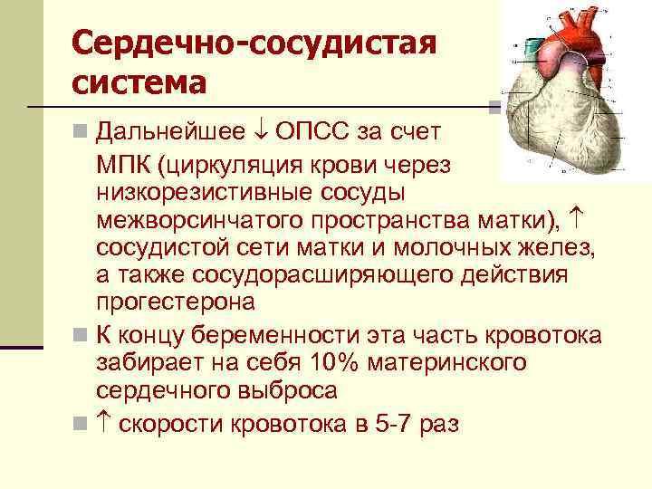 Сердечно-сосудистая система n Дальнейшее ОПСС за счет МПК (циркуляция крови через низкорезистивные сосуды межворсинчатого
