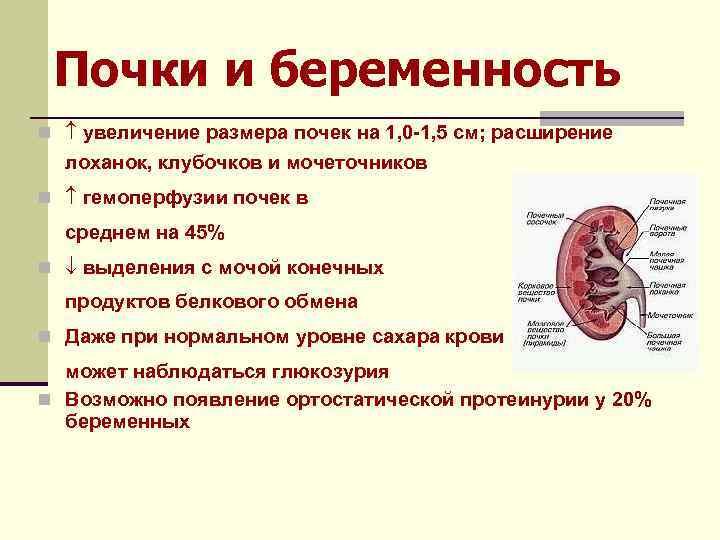 Почки и беременность n увеличение размера почек на 1, 0 -1, 5 см; расширение