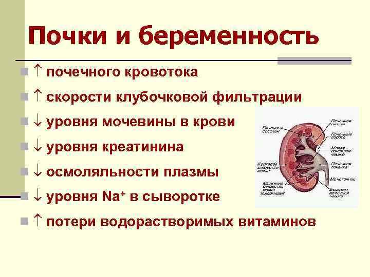 Почки и беременность n почечного кровотока n скорости клубочковой фильтрации n уровня мочевины в