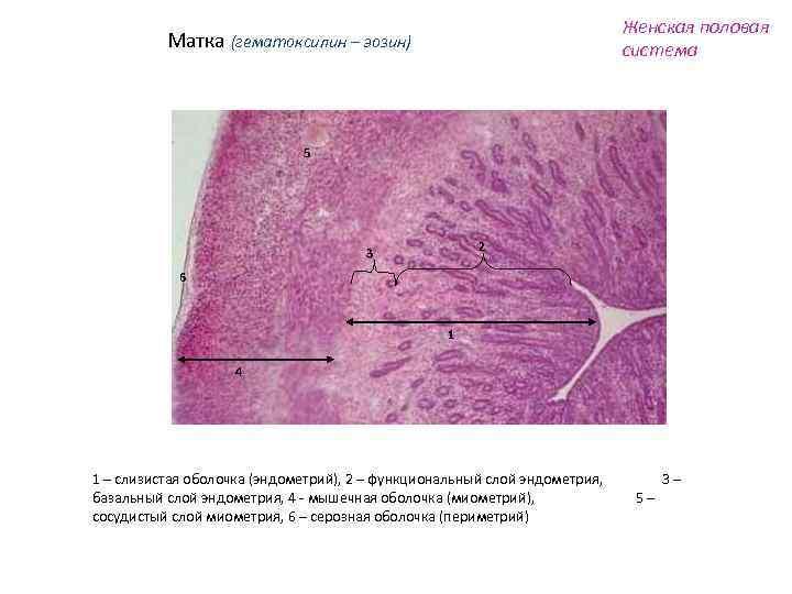 Женская половая система Матка (гематоксилин – эозин) 5 2 3 6 1 4 1
