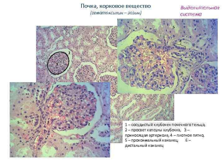 Почка, корковое вещество Выделительная система (гематоксилин – эозин) 5 4 2 1 6 5