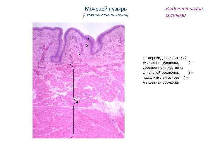 Мочевой пузырь (гематоксилин-эозин) Выделительная система 1 2 3 4 1 - переходный эпителий слизистой